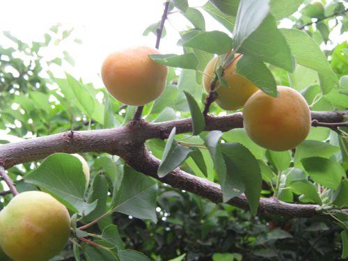 хадырбей hadirbey абрикос