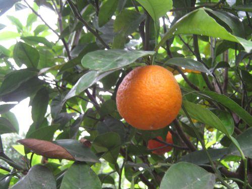 хадырбей hadirbey апельсин